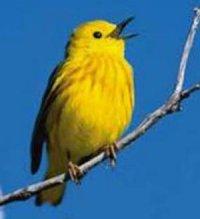 Голосові сигнали птахів
