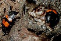 Цікаве життя жуків-мертвоїдів