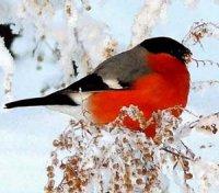 Червоногруді  красені