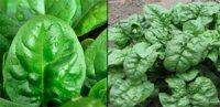 Шпинат – «залізний» овоч