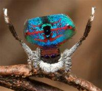 Павук-павич: диво павукової природи