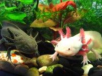 Аксолотль – «водяне чудовисько», «водяний дракончик», «водяна іграшка»