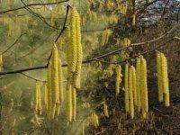 Ліщина – рослина в сережках