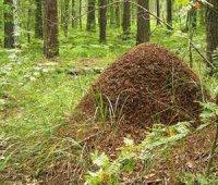 Складне життя мурашника