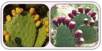 Опунція: історія вирощування та використання