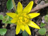 Пшінка - золотиста весняна зірка