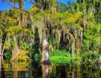 Луїзіанський мох: не мох, а квіткова рослина