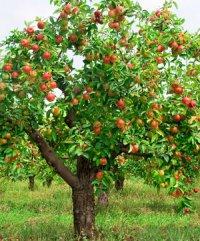 Яблуня і яблука