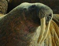Тварини, що «ходять на зубах»