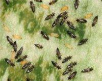 Трипси – комахи з бахромою
