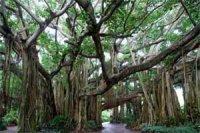 """""""Багатоноге"""" дерево"""