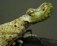 Фонарниці – цікаві комахи