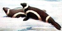 «Крилаті тюлені»?