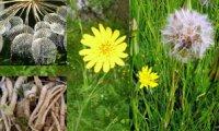 Козлобородники: що за рослини такі?