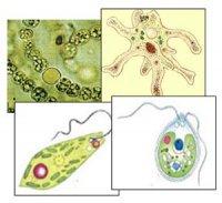 """Розробки уроків з біології 6 кл. до теми """"Одноклітинні організми"""""""