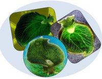 Морський слизун – фотосинтетик у світі тварин?