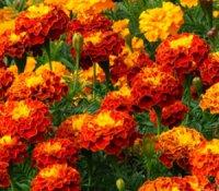 Квіти, як м'який та ніжний бархат