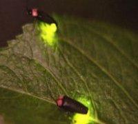 Надзвичайна поведінка жуків-світляків
