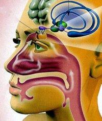 Головні органи безпеки організму – ніс і язик
