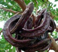 Цератонія – цікава рослина з багатьма назвами