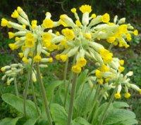 Первоцвіт весняний - рослина з легенд