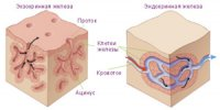 Порівняльна характеристика залоз тіла
