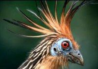 Дивні птахи гоацини