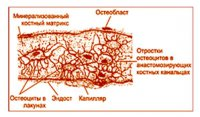 Клітини кісткової тканини