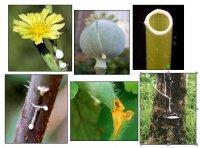Молочні властивості рослин