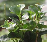 Пеперомія – «рослина-перчина»?!