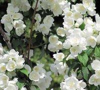 Милує очі цвіт жасмину