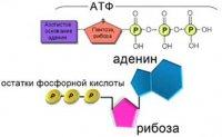 АТФ – головний енергетичний гравець клітини і не тільки…
