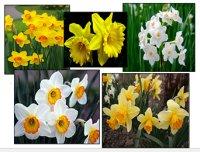 Нарциси – вишукані квіти весни