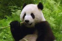 Панда – символ WWF. Чому?