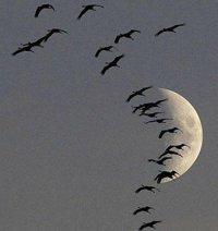 Особливості перельотів птахів