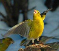 Співоча комунікація птахів