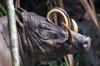 «Оленяча свиня» - бабіруса