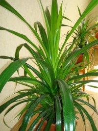 Рослина із «зубастими» листками
