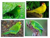 Папуги, які живуть на землі