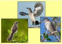 Таланти природи: пересмішник- птах багатьох голосів