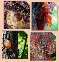 Рослинні камеді – особливі речовини природи